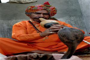 印度蛇文化解读 不会捕蛇没有资格结婚